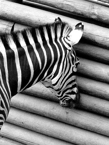 Catalina Olavarria / Voyeur Zebra