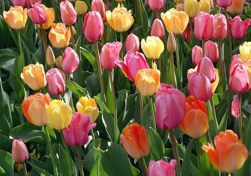 チューリップの開花が楽しみです